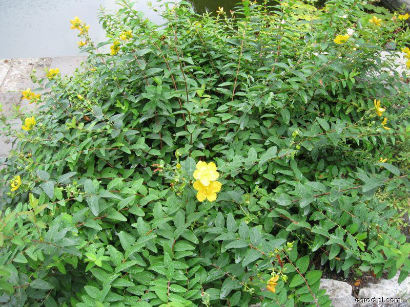Třezalka Hookerova (Hypericum hookerianum)