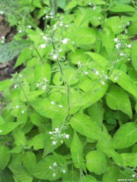 Čarovník měkký (Circaea mollis)