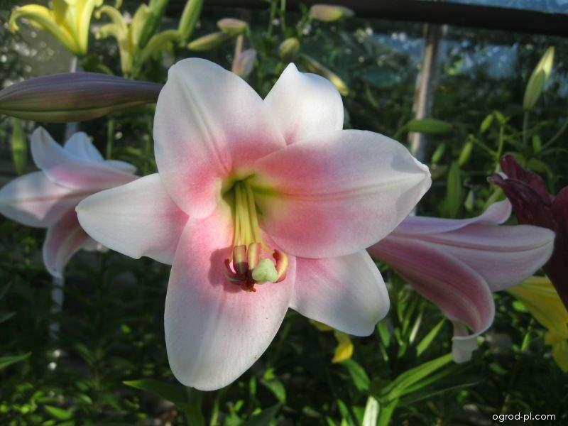 Lilia - Lilium x hybridum Lilie Bellsong