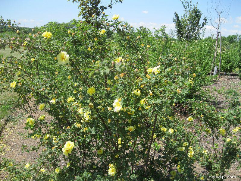 Růže Harisonova (Rosa x harisonii)