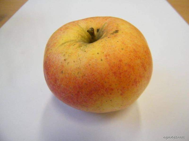 Jabloň domácí Gala (Malus domestica)