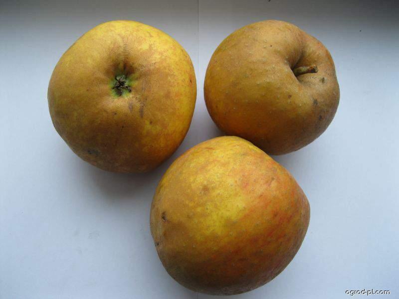 Jabloň domácí Kožená Reneta zimní (Malus domestica)