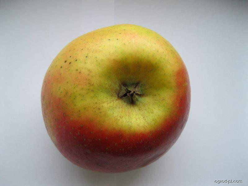 Jabloň domácí Jonagold (Malus domestica)