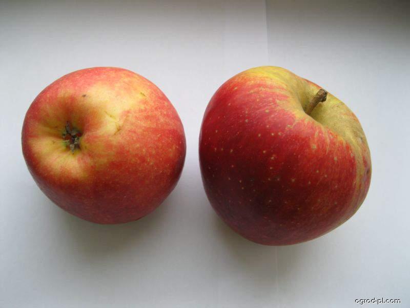 Jabloň domácí Šampion (Malus domestica)