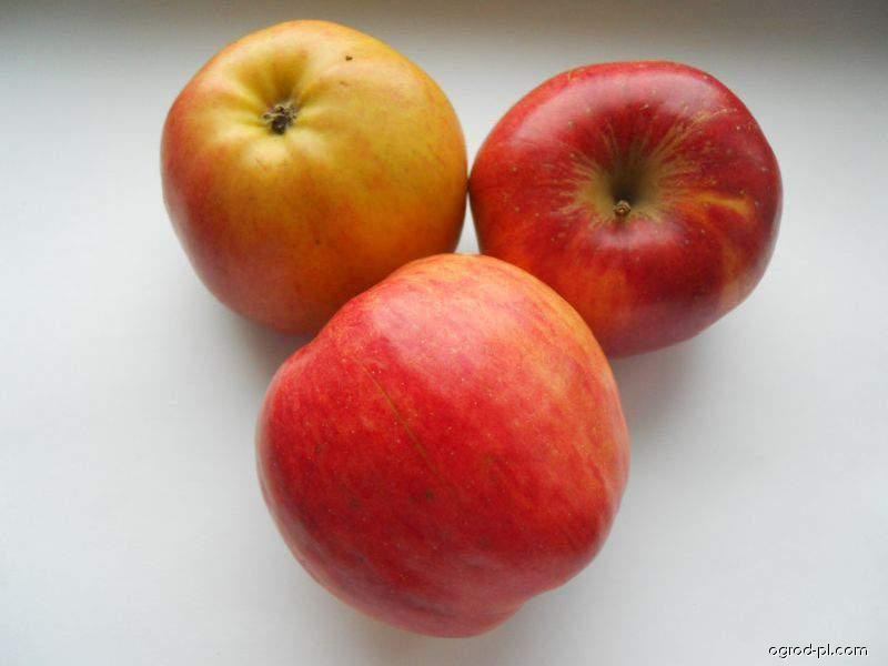 Jabloň domácí Melrose (Malus domestica)