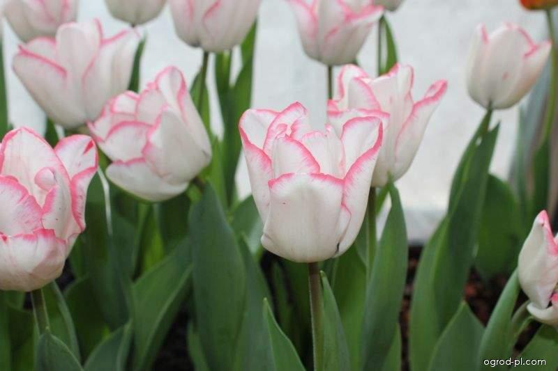 Tulipan - Tulipa Marjolein Bastin