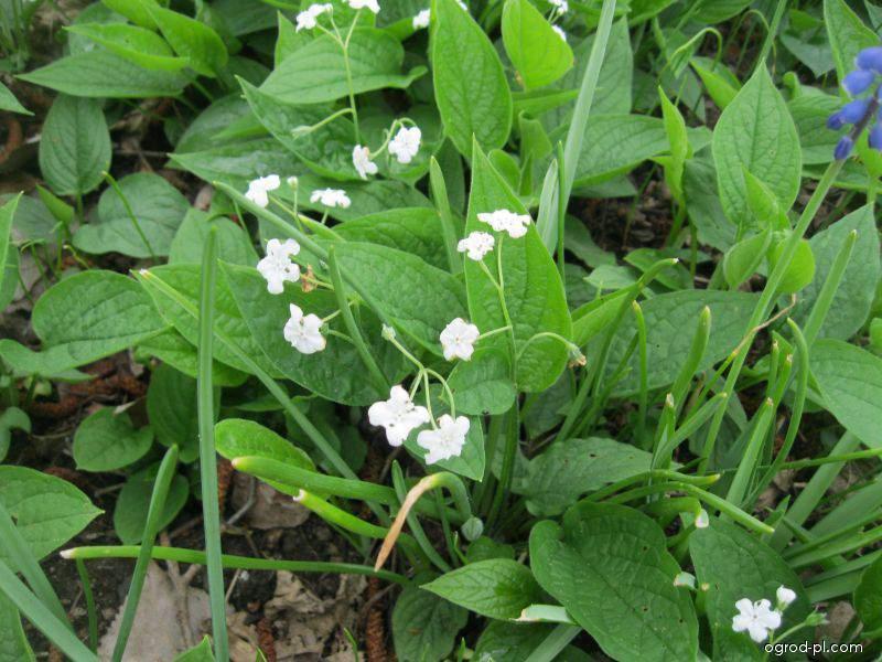 Ułudka wiosenna - Omphalodes verna Alba