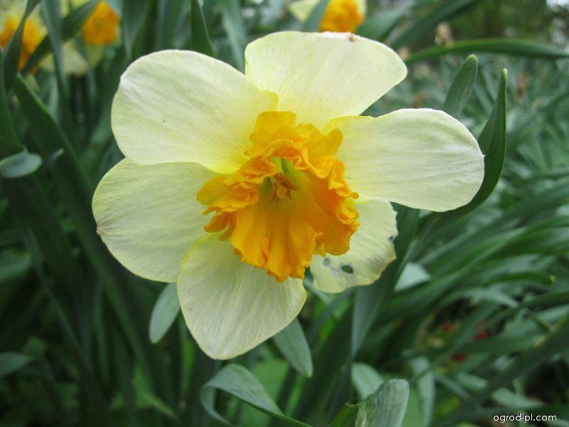 Narcis Bully (Narcissus x hybridus)