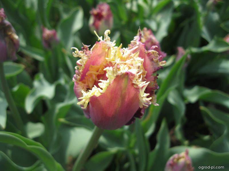 Tulipán Cummins (Tulipa x hybrida)