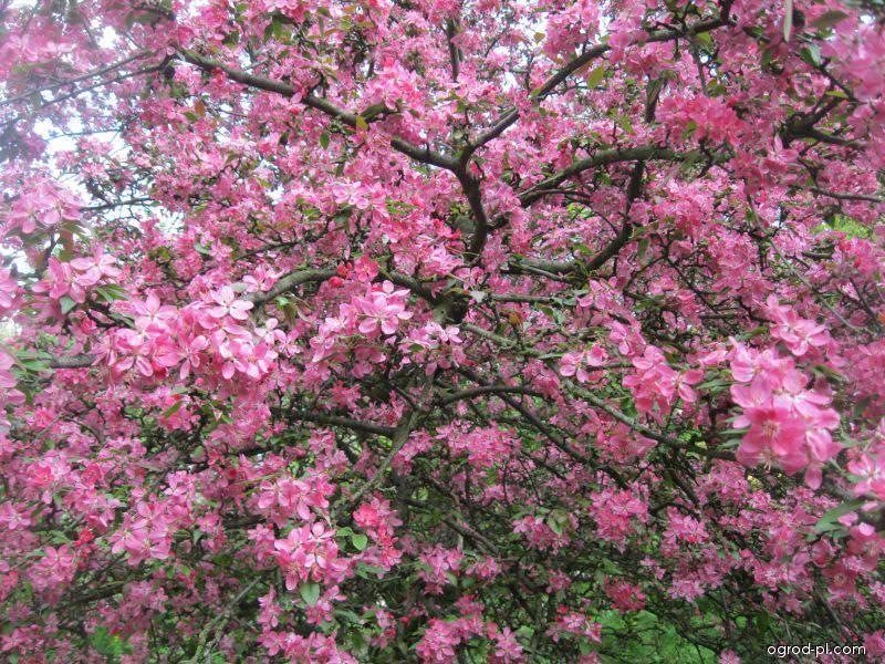 Jabłoń purpurowa - Malus x purpurea