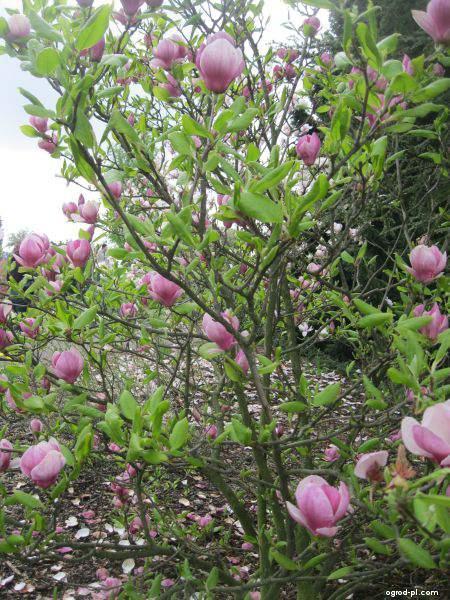 Magnolia pośrednia - Magnolia x soulangeana Rustica Rubra