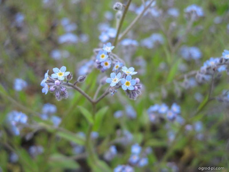Pomněnka rolní - květ (Myosotis arvensis)
