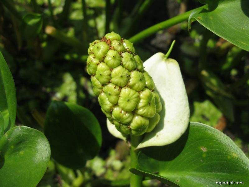 Ďáblík bahenní (Calla palustris)