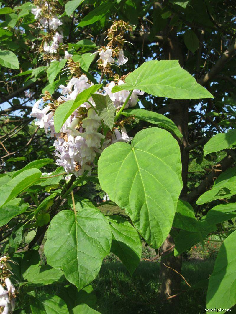 Pavlovnie plstnatá (Paulownia tomentosa)