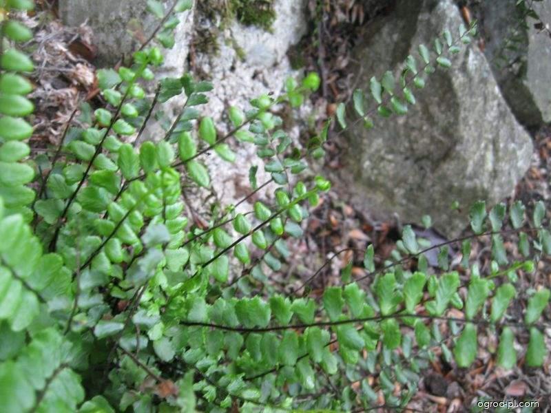 Zanokcica skalna - Asplenium trichomanes