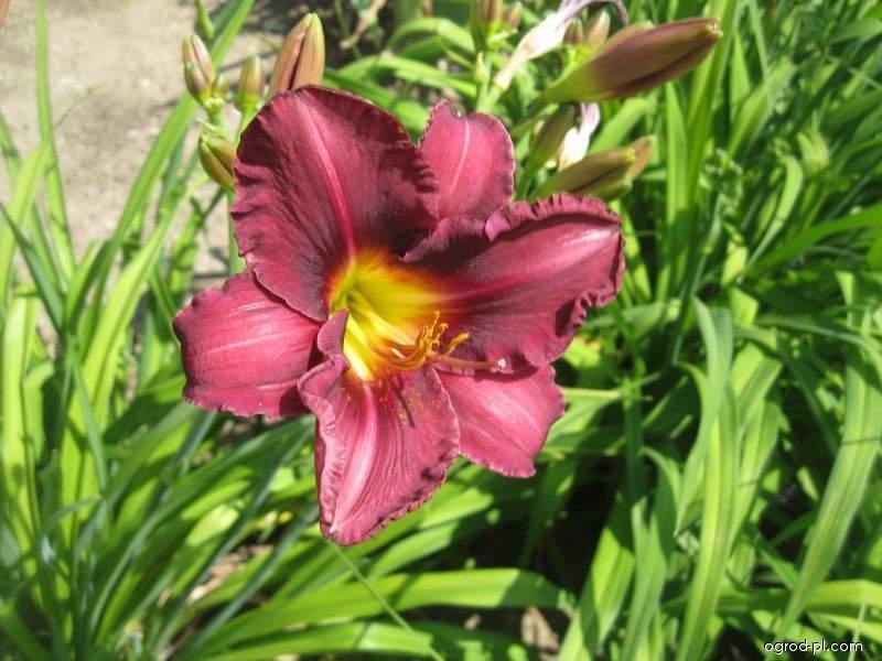 Liliowiec ogrodowy - Hemerocallis Olive Bailey Langdon