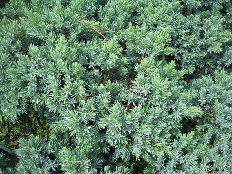 Jalovec šupinatý Blue Star (Juniperus squamata)