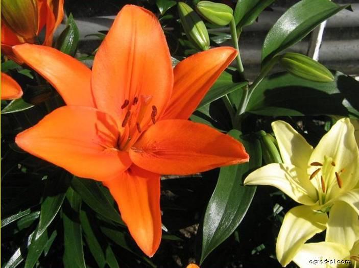 Lilia - Lilium x hybridum Beatrix