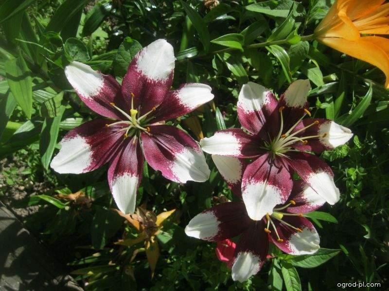 Lilie Tiny Padhye - Asijský nízký hybrid (Lilium x hybridum)