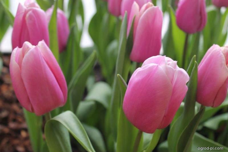Tulipan - Tulipa Holland Beauty