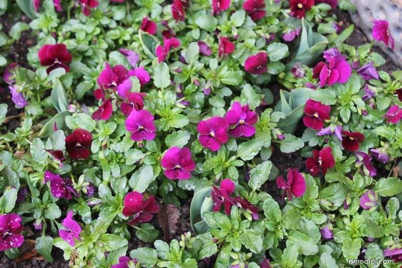 Violka rohatá (Viola cornuta)