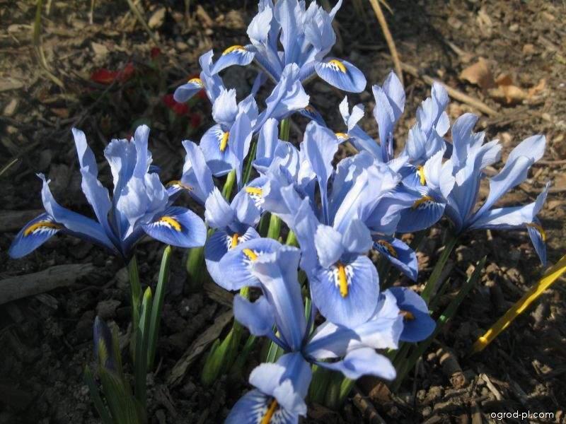 Kosaciec żyłkowany - Iris reticulata Alida