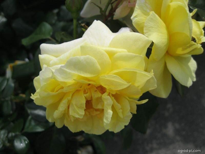 Róża - Rosa Sunstar