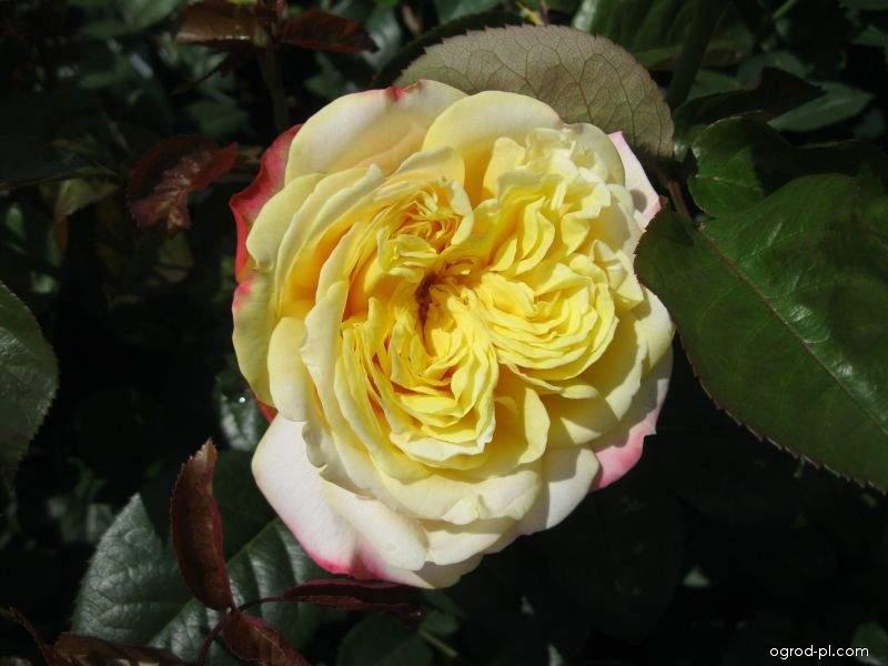 Růže Kordes Jubilee (Rosa sp)
