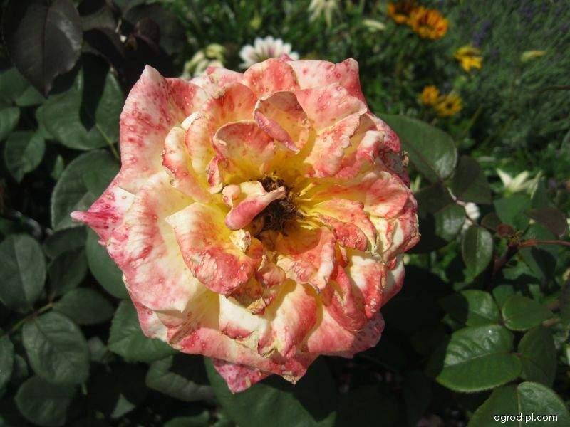 Róża - Rosa Bordure Abricot