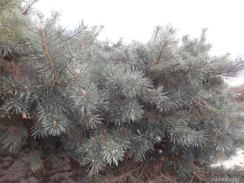 Sosna zwyczajna - Pinus sylvestris Hillside Creper
