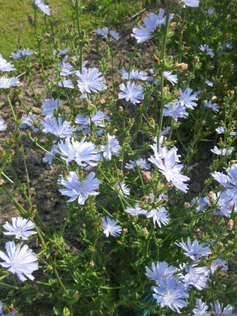 Čekanka obecná setá (Cichorium intybus subsp foliosum)