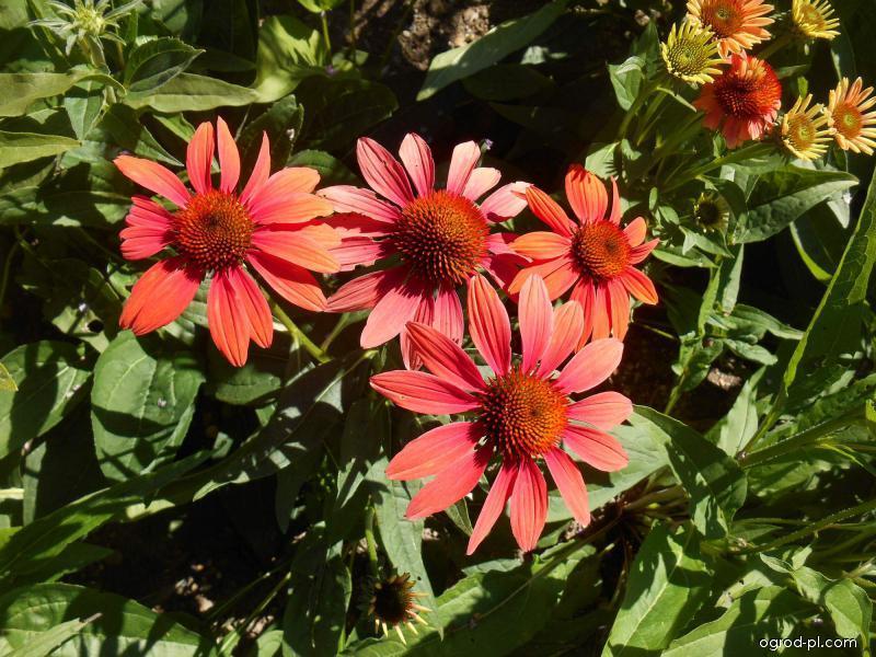 Třapatkovka nachová Cheyenne Spirit (Echinacea purpurea)