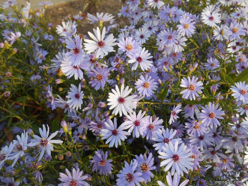 Hvězdnice srdcolistá Blue Heaven (Aster cordifolius)