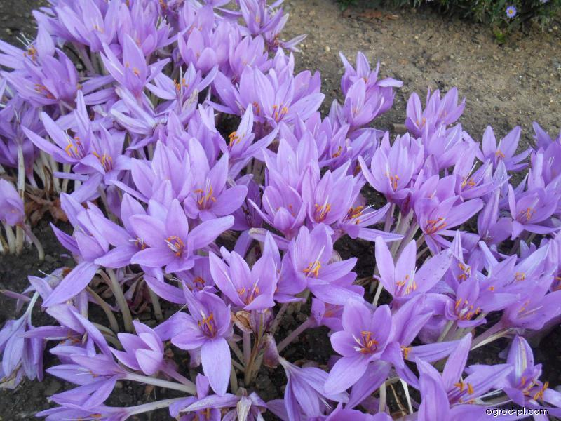 Ocún ozdobný (Colchicum speciosum)