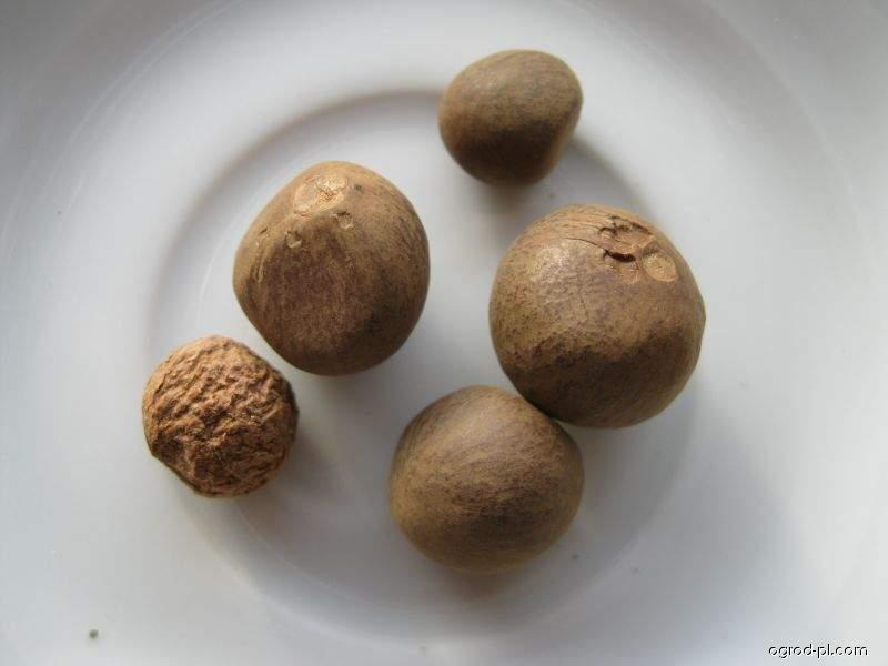 Čajovník čínský - semena (Camellia sinensis)