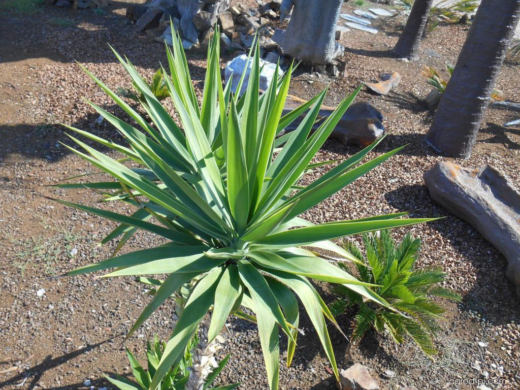 Juka (Yucca)