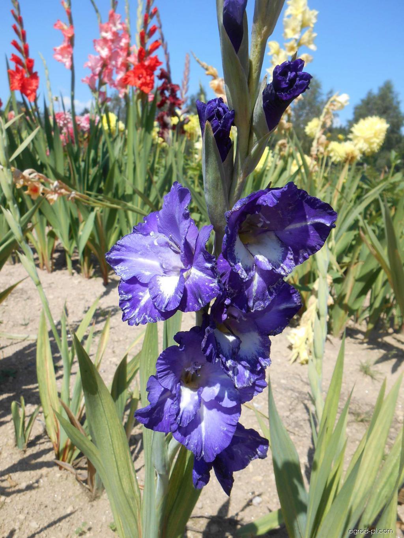 Mieczyk - Gladiolus Okoboji Belle
