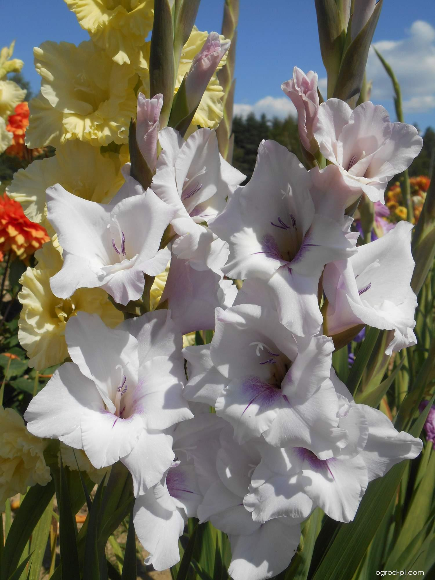 Mieczyk - Gladiolus Flevo Spirit