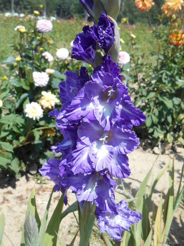 Mieczyk - Gladiolus Moderna