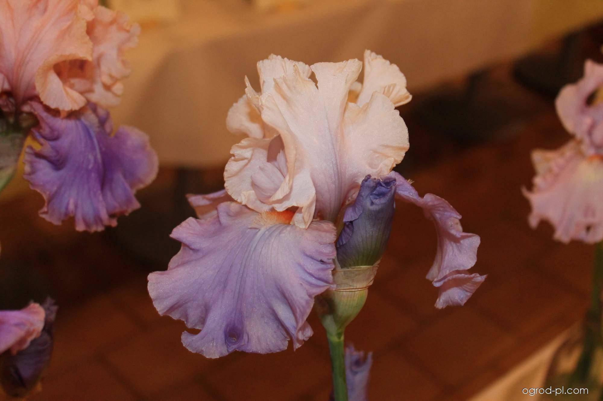 Kosaciec bródkowy - Iris barbata Calgary