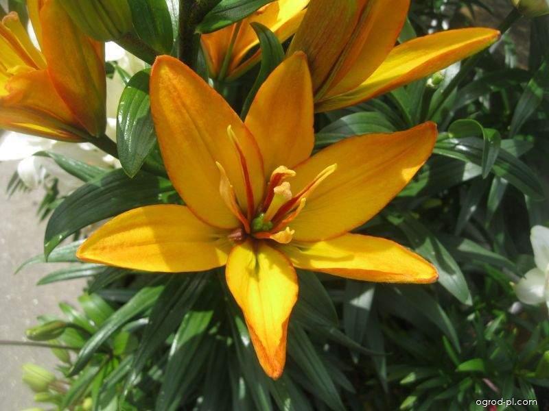 Lilia - Lilium x hybridum Gold Twin
