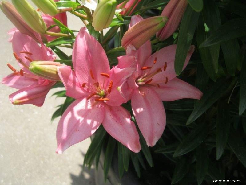 Lilia - Lilium x hybridum Discoteca