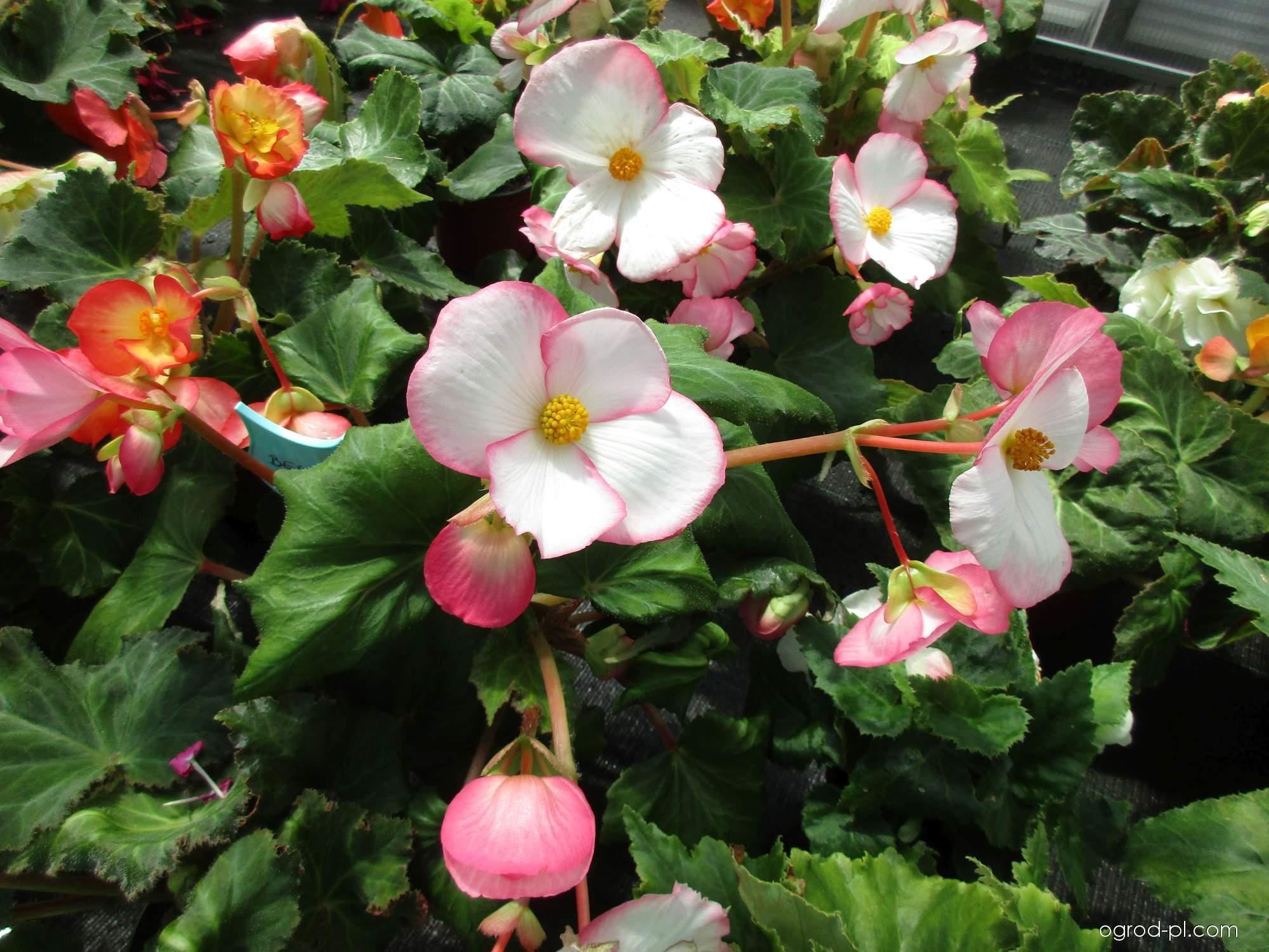 Begonia bulwiasta - Begonia x tuberhybrida