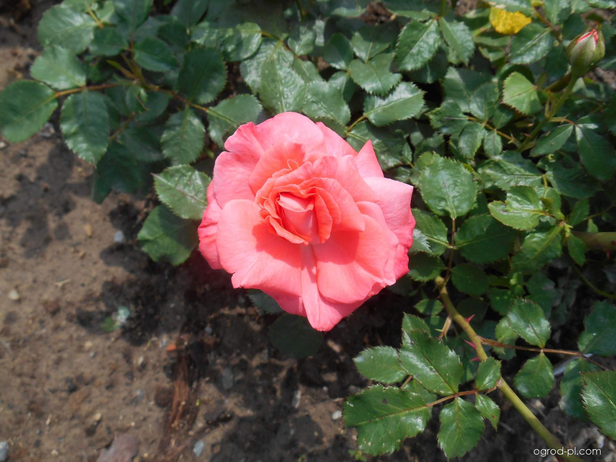 Róża - Rosa Zorman