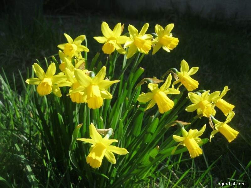Narcyz - Narcissus Tete a Tete
