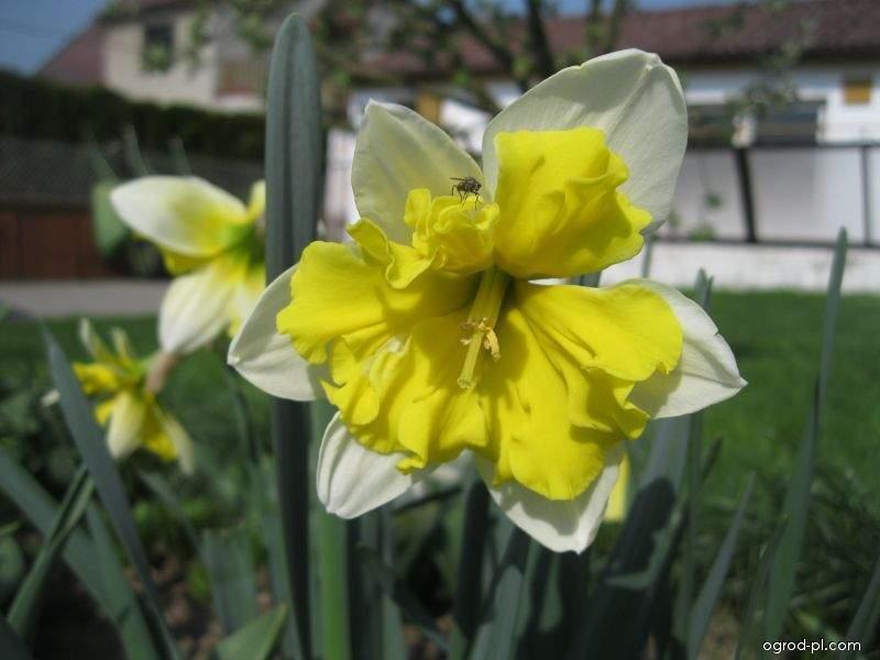 Narcis Belcanto - Collar narcisy (Narcissus x hybridus)