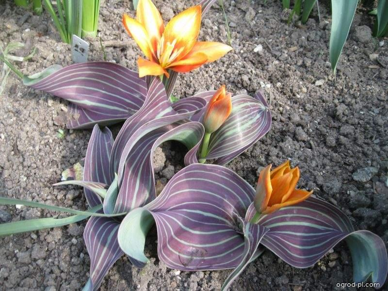 Tulipan Greiga - Tulipa greigii Joanne Woodward