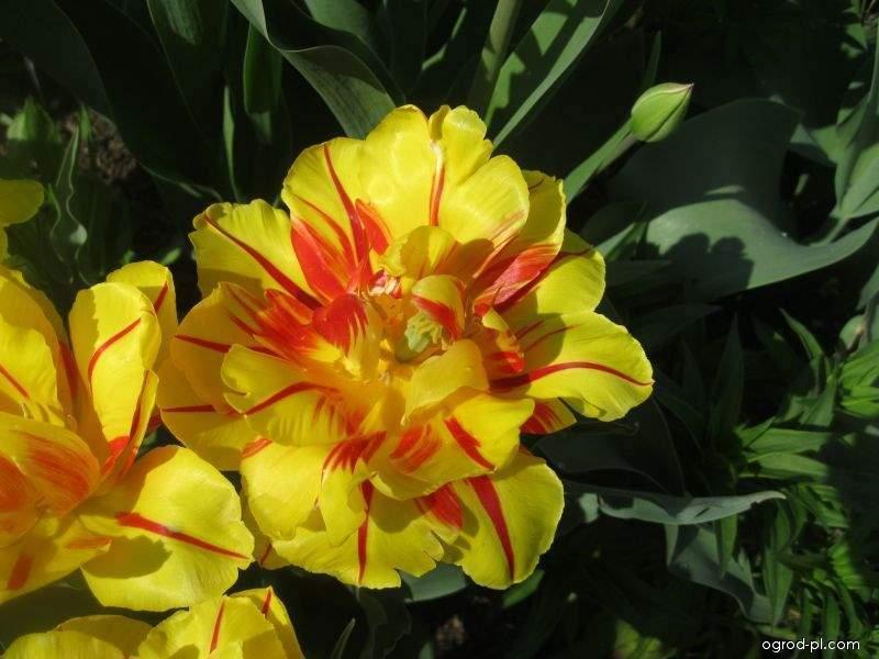 Tulipán Monsella - Plnokvěté rané tulipány (Tulipa x hybrida)