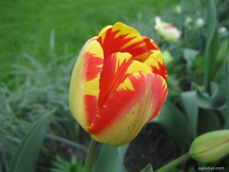 Tulipán Banja Luka - Darwin hybridy (Tulipa x hybrida)
