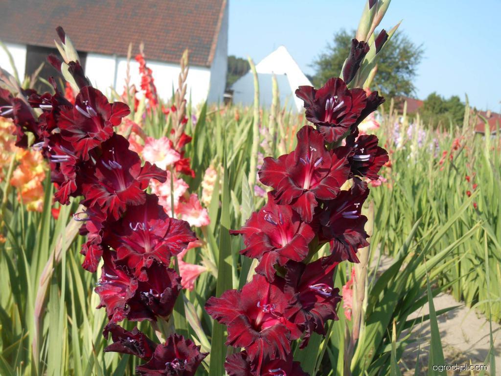 Mieczyk - Gladiolus Black Pearls
